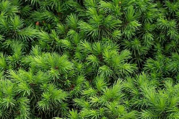 Ramos espinhosos verdes do fundo de uma árvore de peles ou pinheiro.