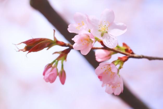 Ramos floração macieira. fundo de primavera com foco seletivo suave. flores desabrochando de sakura