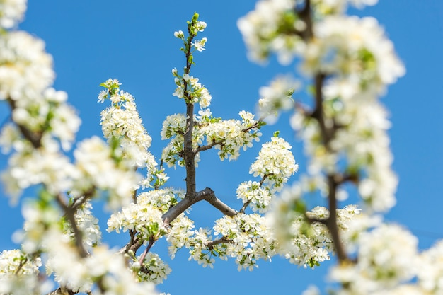 Ramos floridos de macieiras