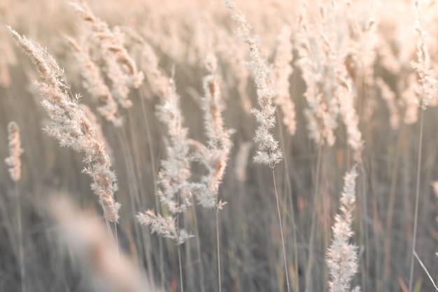Ramos leves e fofos de grama dos pampas ao ar livre em fundo natural natural com juncos secos ao pôr do sol