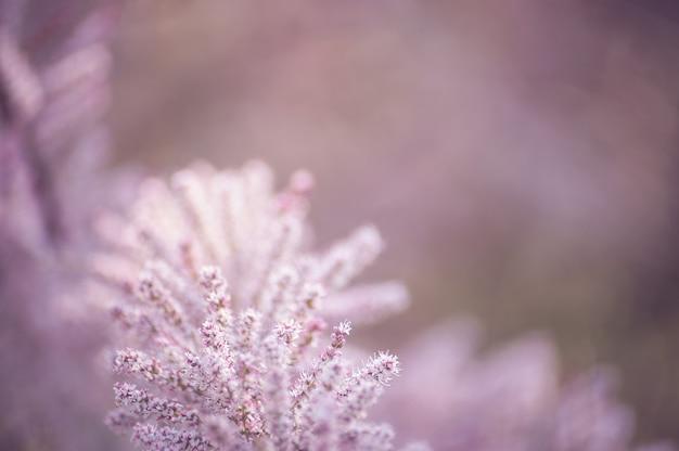 Ramos macios cor-de-rosa do tamarix. tamarisk ou tamarix ramosissima rosa flores.