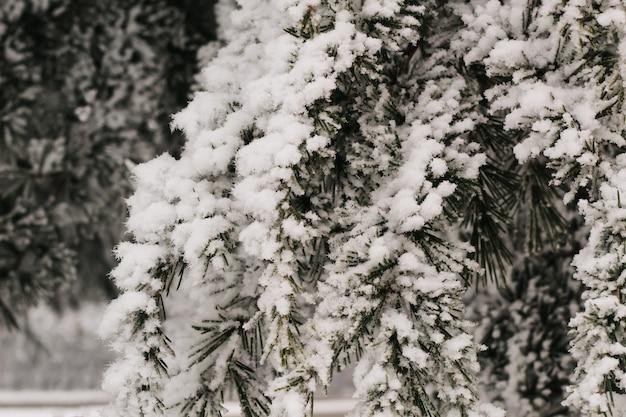 Ramos na geada e neve no inverno. árvore congelada, conceito de geada, temporária, inverno, frio