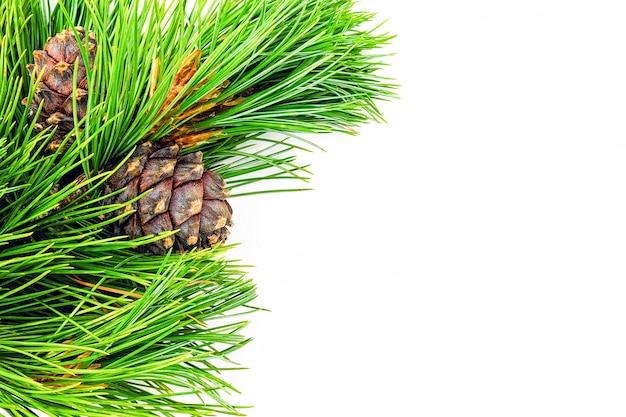 Ramos naturais do cedro sempre-verde com beira dos cones isolados no fundo branco.