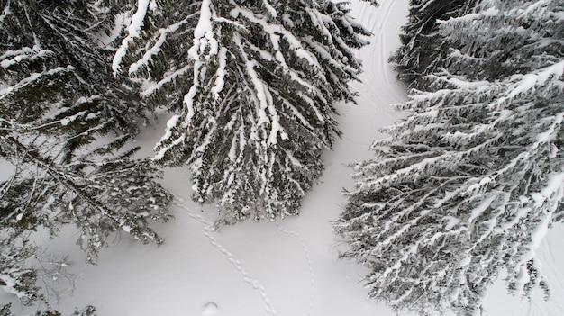 Ramos nevados do abeto alto alto grosso grosso bonito