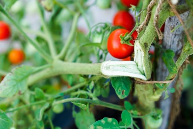 Ramos quebrados e rasgado do tomate da passa de corinto vermelha na horta.