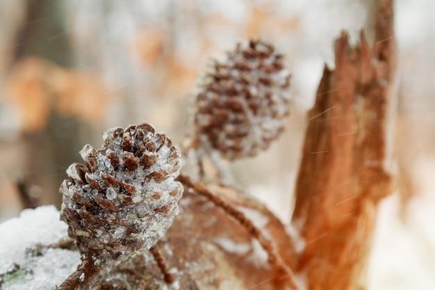 Ramos sob o close up da neve. ramos verdes cobertos de neve do arbusto conífero. fundo de inverno com ramos de teixo sob a neve.