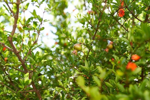 Ramos verdes de romã com flores e frutas vermelhas