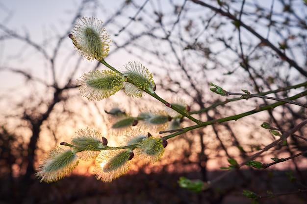 Ramos verdes de salgueiro com amentilhos na frente do pôr do sol.
