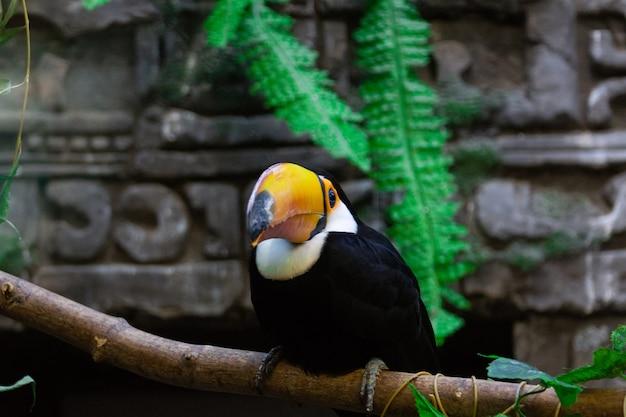 Ramphastos toco no zoológico Foto Premium
