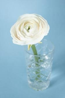Ranúnculo branco em vaso contra azul pastel
