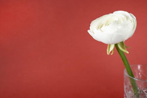 Ranúnculo branco em vaso contra marrom vermelho