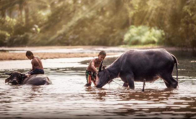 Rapaz asiático a gostar de brincar com o búfalo