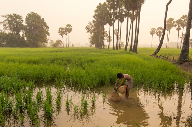 Rapaz asiático agricultor pessoas em campo de arroz verde durante o tempo de manhã