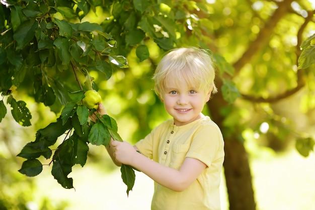Rapaz pequeno que escolhe maçãs da árvore.