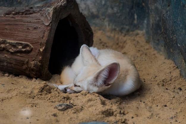 Raposa branca deitada na areia