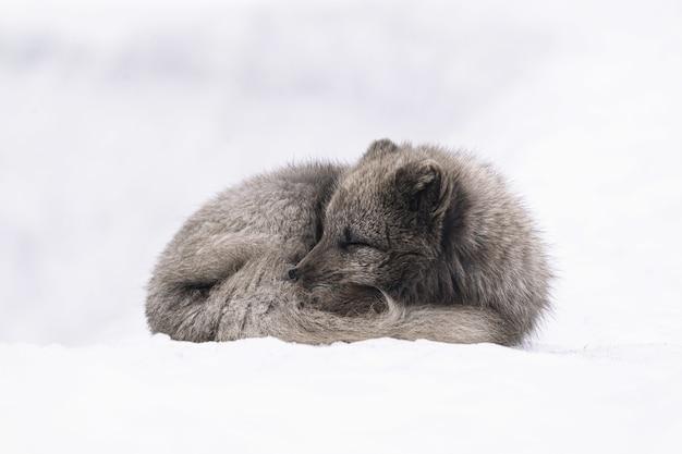 Raposa branca e cinza deitada em solo coberto de neve durante o dia