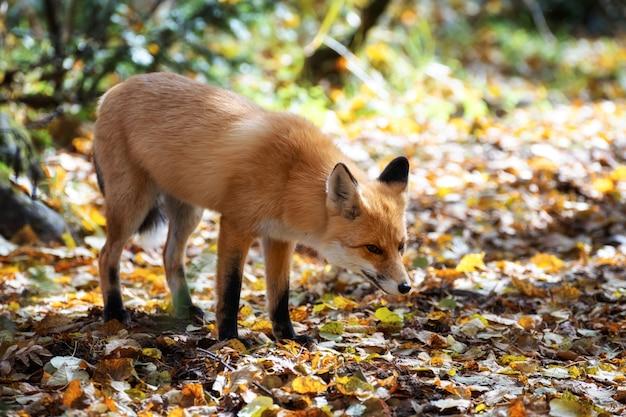 Raposa cautelosa parou na orla da floresta nas folhas de outono.