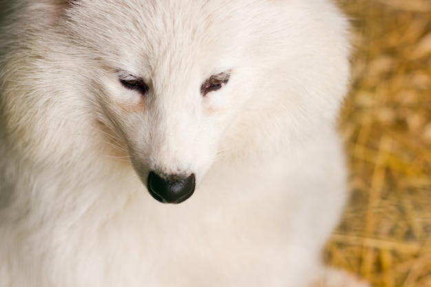 Raposa do ártico branco no zoológico