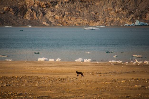 Raposa do ártico entre icebergs em fiordes de narsaq, sudoeste da groenlândia