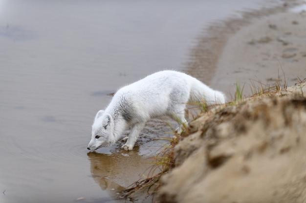 Raposa do ártico (vulpes lagopus) na tundra selvagem. raposa do ártico na água potável da praia.
