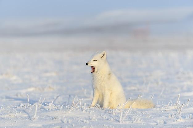 Raposa do ártico (vulpes lagopus) na tundra wilde. raposa do ártico bocejando.