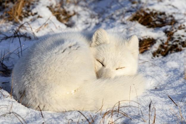 Raposa do ártico (vulpes lagopus) na tundra wilde. raposa do ártico mentindo. dormindo na tundra.