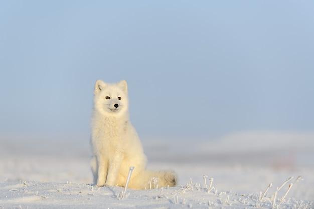 Raposa do ártico (vulpes lagopus) na tundra wilde. raposa do ártico sentado.