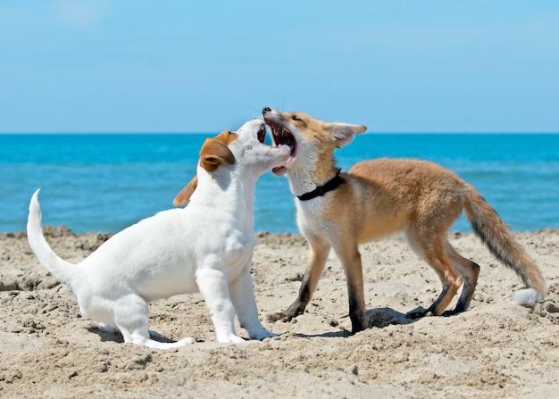 Raposa e cachorro na praia