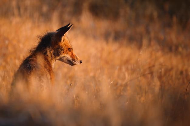 Raposa espanhola (vulpes vulpes)