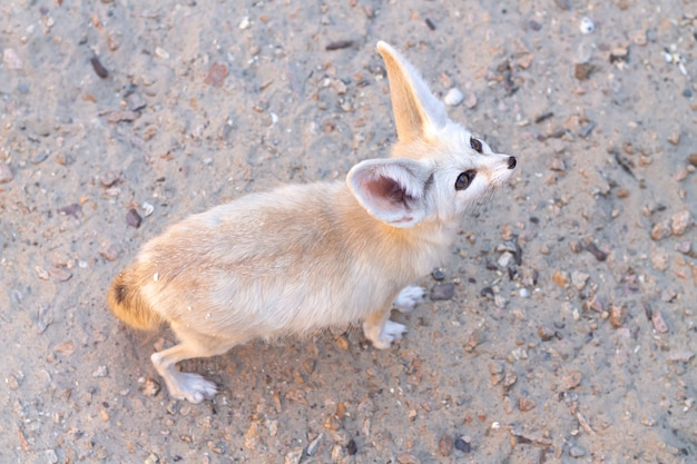 Raposa fennec ou animal selvagem vulpes zerda na vista de cima do deserto