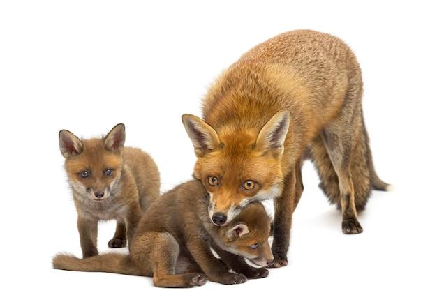 Raposa mãe com seus filhotes em frente a uma parede branca