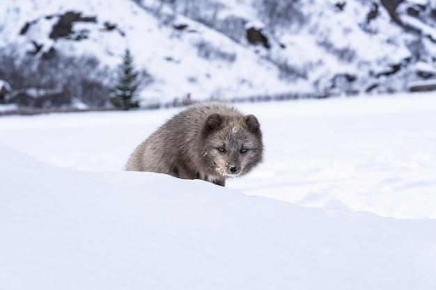 Raposa marrom e branca em solo coberto de neve durante o dia