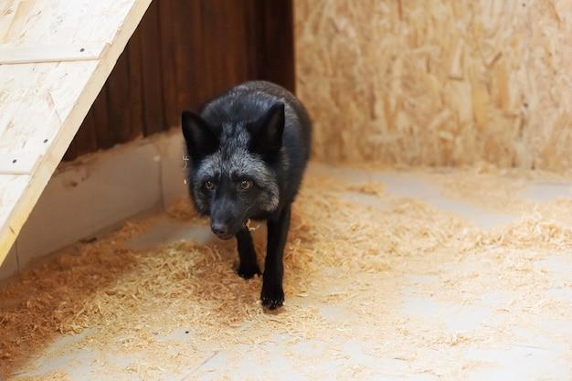 Raposa negra no zoológico de contato. animais de estimação na fazenda.
