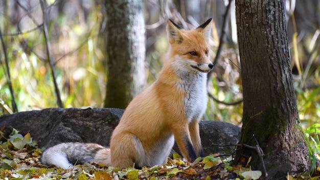 Raposa vermelha bocejando no alongamento do parque.