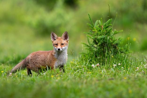 Raposa vermelha de juvenille em um prado na natureza da primavera