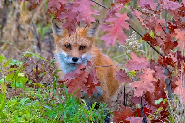 Raposa vermelha espiando através das folhas coloridas do outono