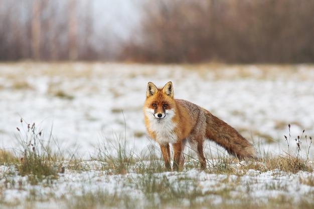 Raposa vermelha fofa em pé em um pasto com grama e neve no inverno
