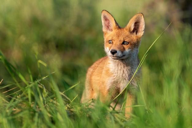 Raposa vermelha jovem na grama em uma bela luz do sol