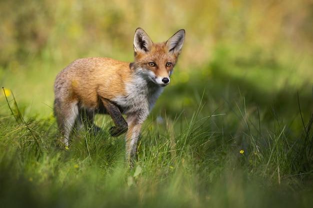 Raposa vermelha levantando uma perna e se aproximando de frente na clareira na natureza de verão