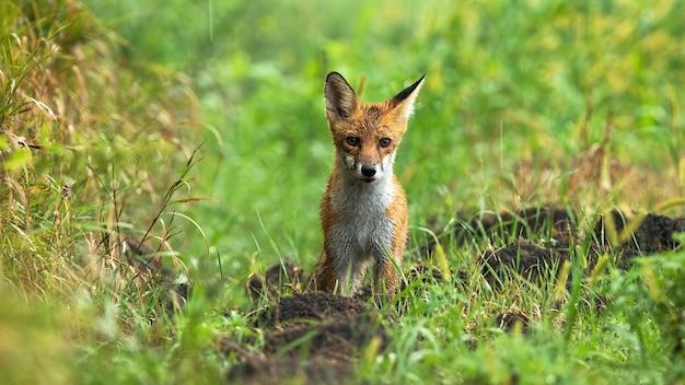 Raposa vermelha molhada em pé no prado em um dia chuvoso de verão