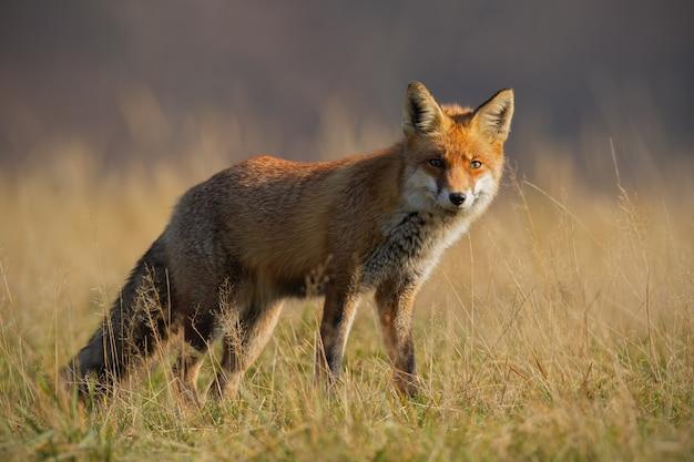 Raposa vermelha no outono ao nascer do sol