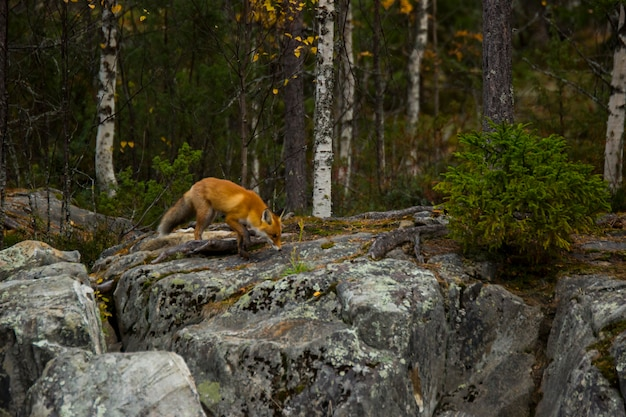 Raposa vermelha no outono em kuusamo