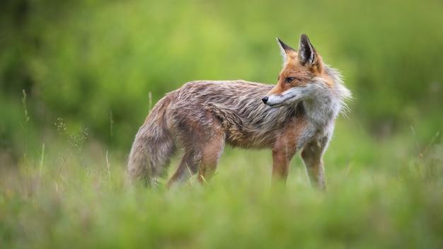 Raposa vermelha observando pastagens na natureza primaveril
