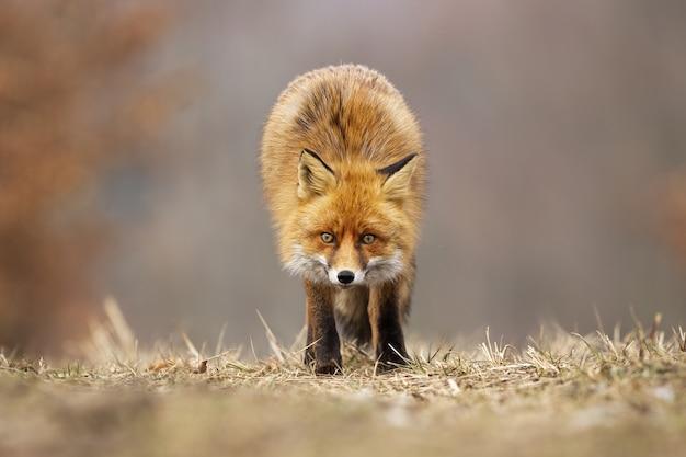 Raposa vermelha olhando diretamente no prado no outono.