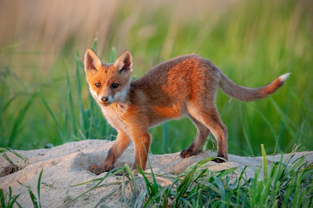 Raposa vermelha que está em um prado verde na natureza da mola no por do sol.