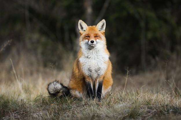 Raposa vermelha sentada em um prado no outono