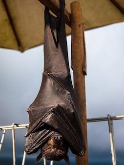 Raposa voadora morcego está dormindo