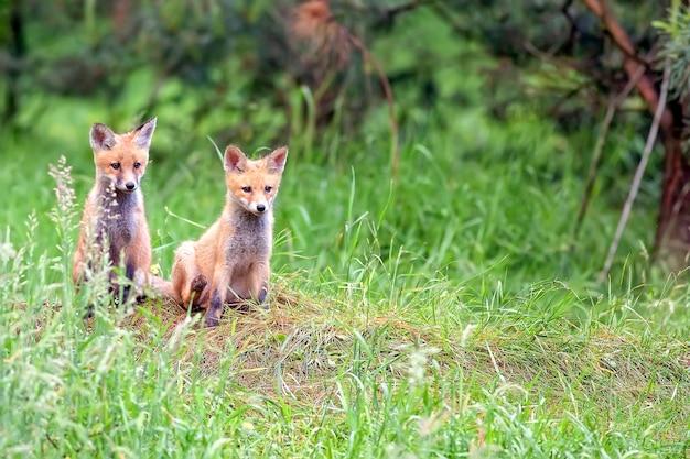 Raposas em estado selvagem