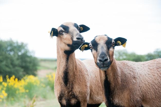 Raro campo mouton kamerun-schafe pardo raça