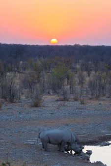 Raros rinocerontes negros bebendo do poço de água ao pôr do sol